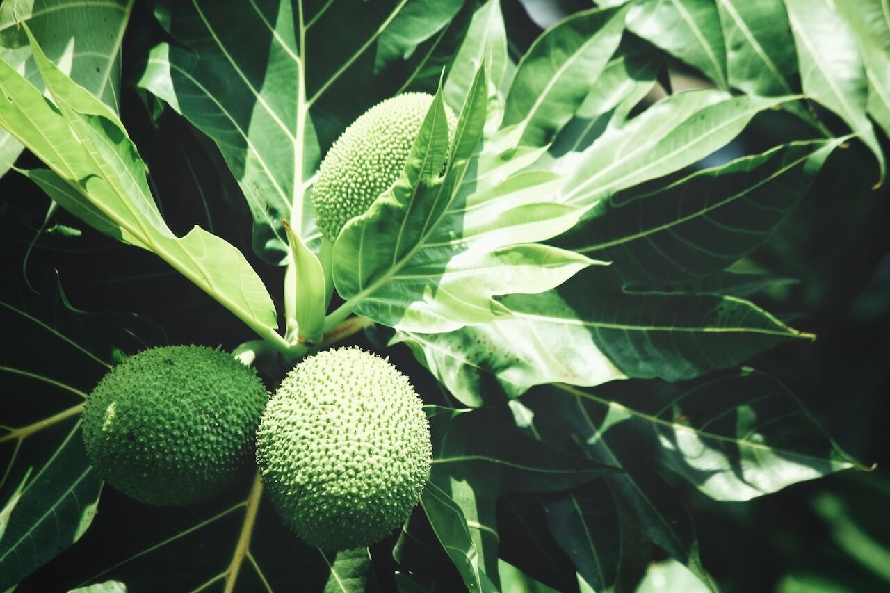 breadfruit-tree