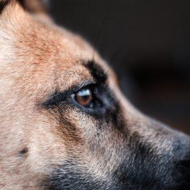 dog-coronavirus